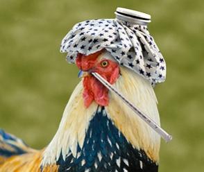 Թռչնագրիպի համաճարակ Մեքսիկայում. մեկ միլիոն հավ է ոչնչացվել