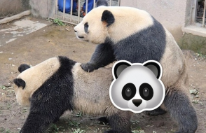 Չինաստանում պանդաների 8–րոպեանոց կենակցությունը ցնցել է կենդանասերներին (տեսանյութ)