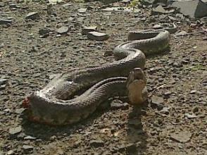 «ԳԱԶել»–ի մեջ օձ է հայտնաբերվել