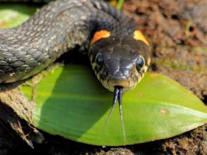 Արարատում հայտնաբերվել է օձ