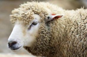 Կազանում Ղուրբան Բայրամի մատաղացու ոչխարը փախել է