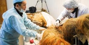 Յակուտիայում մամոնտի մորթ են գտել, որը հնարավոր է կլոնավորել (լուսանկար)