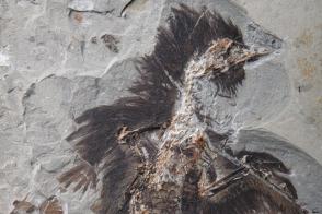 Опубликовано фото древней птицы, сохранившей цвет перьев спустя 130 млн лет