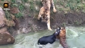 Չինաստանի կենդանաբանական այգում վագրերին կենդանի ավանակով են կերակրել