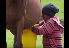 Ղրղզստանի հռչակավոր ըմպելիքը պատրաստում են ձիու կաթից