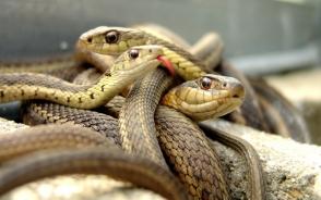 Վրաստանում 282 օձ են բռնել
