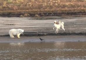 Յակուտիայում փրկել են որբացած սպիտակ արջուկին