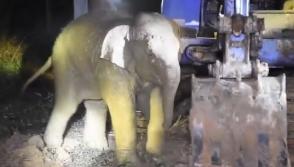 Թաիլանդում փրկել են ջրհորն ընկած փղիկին․ մայր փիղն էլ հոսանքահարվել է