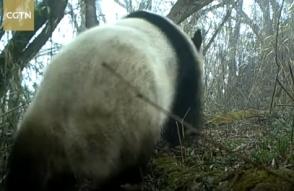 Չինաստանի արգելոցներից մեկում առաջին անգամ նկարահանել են հազվագյուտ վայրի պանդայի