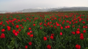 Թուրքիայում ծրագրել են «Մշո կակաչը» դարձնել եկամտի կարևոր աղբյուր