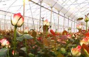 В армянской общине Гохт ежегодно выращивается 11 млн роз 25 сортов