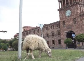 Овца – в правительстве (видео)