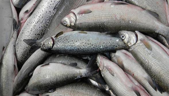 Главы ряда филиалов ГНКО «Национальный парк Севан» в обмен на взятку разрешили незаконный вылов рыбы – СНБ (видео)