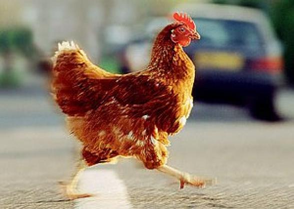 400 հատ հավ գողացած անձը բերման է ենթարկվել
