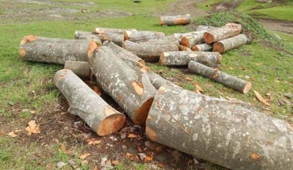 Հատվել է 1462 հատ տարբեր տեսակի ծառ. մեղադրանք է առաջադրվել 16 անձի, այդ թվում՝ տնօրենների, անտառապետերի