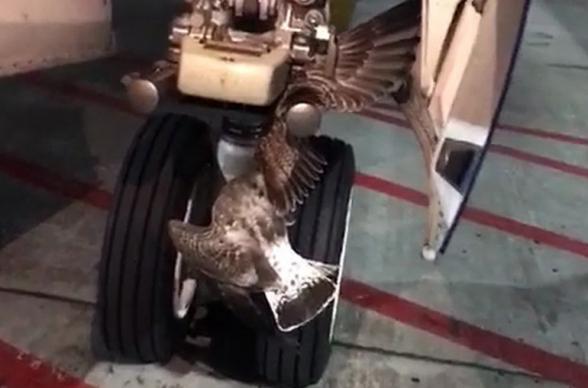 Гигантский баклан застрял в шасси «Боинга» при посадке в «Шереметьево»