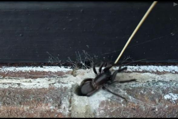 Британец нашел в стене огромного паука с зелеными челюстями