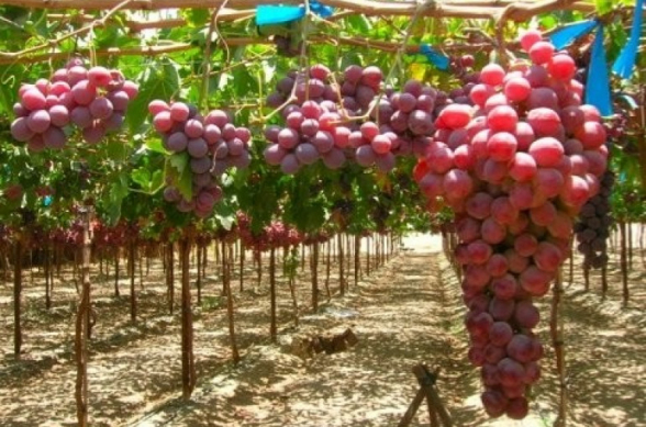 «Խաղողային» բողոք Հայաստանում․ գյուղացիները դժգոհ են մթերման ցածր գներից