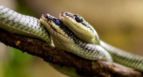 Չինաստանում նոր կորոնավիրուսի հավանական տարածողներն օձերն են. գիտնականներ