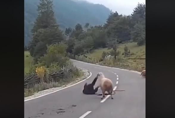 Ահա, թե ինչ կարող է լինել չոբանի հետ, երբ ոչխարները հավատան նրա՝ «և այդ մեկ առաջնորդը դո՛ւ ես» խոսքերին (տեսանյութ)