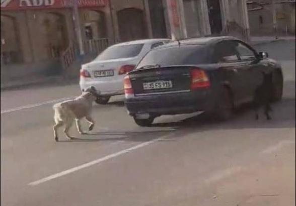 Պարզվել է կենդանիներին մեքենայից կապած անձի ինքնությունը