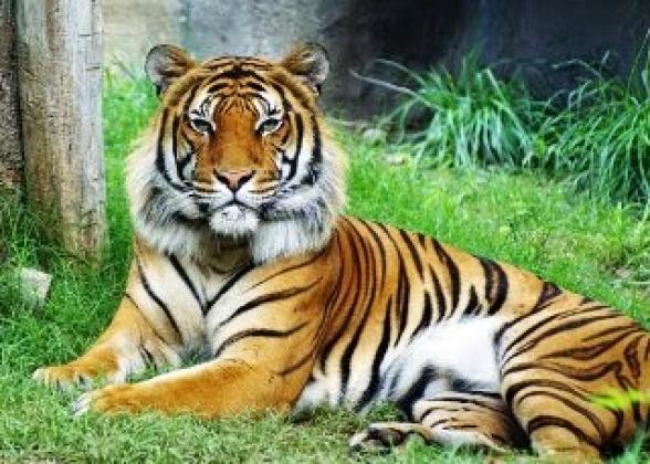В США зафиксировали первый случай коронавируса у тигра