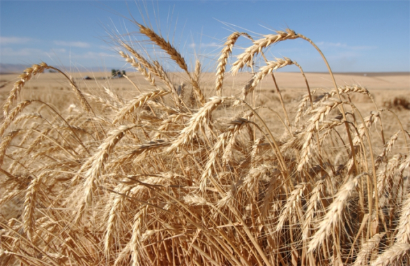 Արցախից Հայաստան հնարավոր չի լինելու հացահատիկ ներմուծել. այս տարի անասնակերի խնդիր է լինելու․ «Ժողովուրդ»