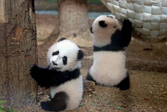 Տոկիոյի կենդանաբանական այգում զույգ պանդաներ են լույս աշխարհ եկել