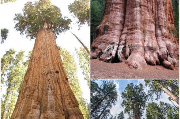 Աշխարհի ամենամեծ ծառը փաթաթվել է հրակայուն ծածկոցով՝ անտառային հրդեհների մոտեցման ֆոնին