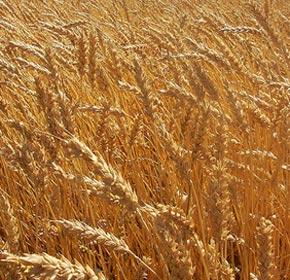 Ցորենի ցանքատարածությունները կրճատվել են 45-50 տոկոսով