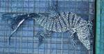 Արգենտինայում հայտնաբերվել է մուտանտ իգուանա