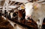 Կաթի լատվիական արտադրողները սպառնում են Բրյուսելում ակցիաներ իրականացնել