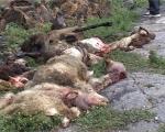 Լոռու մարզում գայլերը 30 ոչխար են հոշոտել, 140-ը կորած է