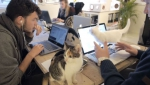 «Poopy Cat» գրասենյակում ավելի շատ կատու կա, քան մարդ (տեսանյութ)