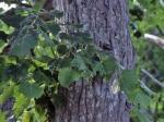 Անտառապահն իրեն վստահված հանդամասից 2 լորենի է հատել