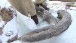 Խանտի–Մանսիյսկում փականագործը մամոնտի մնացորդներ է գտել (տեսանյութ)