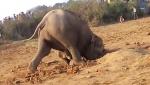Փիղը 11 ժամ ապարդյուն փորձում է հանել ձագին փոսից (տեսանյութ)