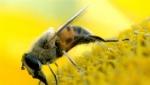 Ֆրանսիայում ավելի քան մեկ մլն մեղու խեղդվել է սեփական մեղրում