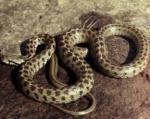 Կոտայքի և Գեղարքունիքի մարզերում հայտնաբերվել են օձեր