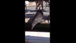 Դելֆինը թռել է նավակի մեջ, կոտրել ամերիկուհու ոտքերն ու իր քիթը (տեսանյութ)