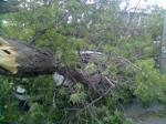 Նալբանդյան և Արամի փողոցների խաչմերուկում ծառ է շրջվել