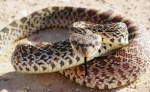 Վեդիում հայտնաբերվել է օձ