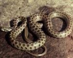 Կոտայքի մարզում օձ է հայտնաբերվել