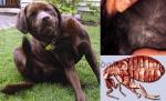 Անց է կացվելու շների մակաբուծային հիվանդությունների անվճար հետազոտություն