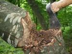 2015թ. ապօրինի կերպով 1273 ծառ է հատվել