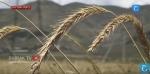 Կարկուտը ջաջուռցու բերքը տարել է (տեսանյութ)