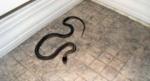 Զ.Անդրանիկի փողոցի շենքերից մեկի նկուղում օձ է հայտնաբերվել