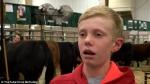 Ուղիղ եթերում երեխան սեղմվել մնացել է կովերի արանքում (տեսանյութ)