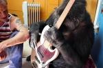 Ռոքերը թույլատրել է գորիլլային նվագել իր կիթառի վրա (տեսանյութ)