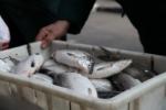 Առգրավվել է 8.5կգ «սիգ» տեսակի տիրազուրկ թարմ ձուկ